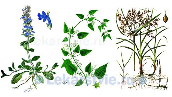 Травы, входящие в состав препарата Цистон: марена сердцелистная (слева), камнеломка язычковая и корень сыти пленчатой (справа)