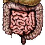 Расположение внутренних органов человека - кишечник