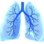 Расположение внутренних органов человека - бронхи