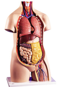 Анатомическое строение тела человека