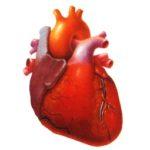 Расположение внутренних органов человека: где расположено сердце?